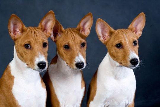 Нелающий пес – бывает и такое, если это басенджи