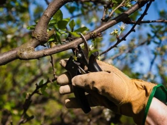 Как молодому садоводу разобраться с особенностями обрезки деревьев весной