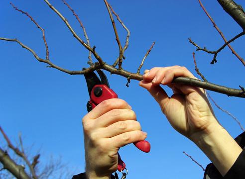 Какие правила нужно соблюдать, производя обрезку плодовых деревьев